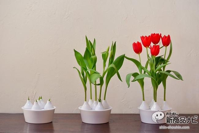 winter tulip_03