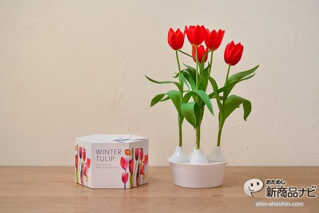 winter tulip_04