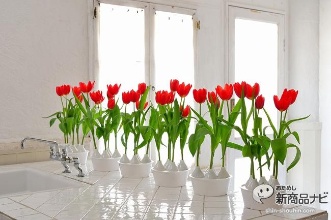 winter tulip_08